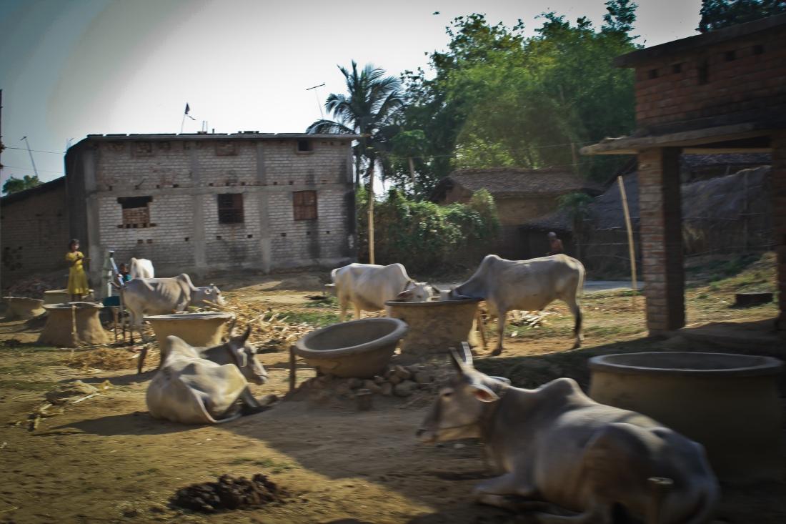 Cows_Jamui