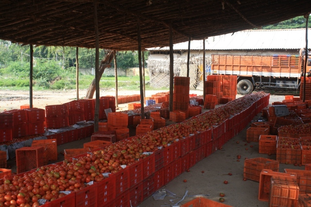 Kuppam, Andhra Pradesh . This region in AP witnesses a bumper tomato produce in November, 2012 and effects the prices (adversely) in the nearby cities of Bangalore and Chennai. High volumes of production did not lead to commensurate rise in income of the farmers in this region, as we know.